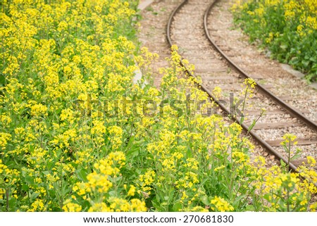 Canola flowers beside railway in spring - stock photo