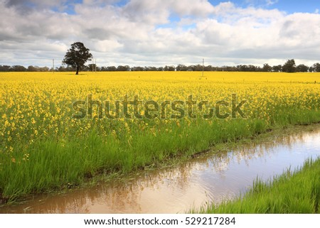 Canola growing in fields around Wattamondara in the Cowra Shire
