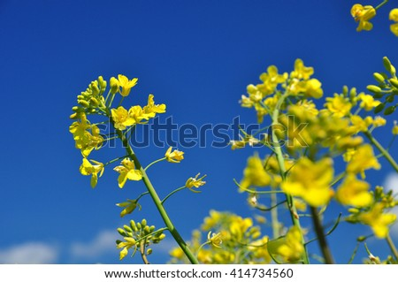 Canola oilseed flower agrarian detail - stock photo