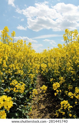 Canola,Oilseed Rape,Biodiesel Crop - stock photo