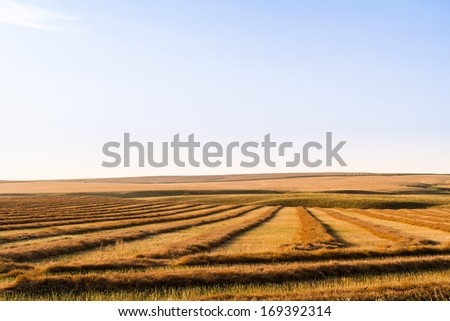 Canola Swathed and Ready for Harvest - stock photo