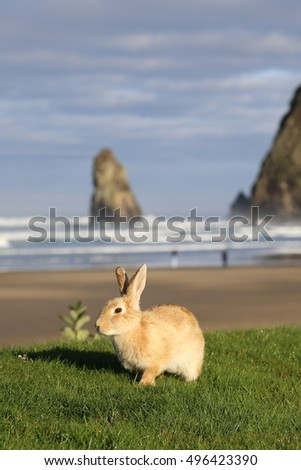 Canon Beach, Oregon bunny