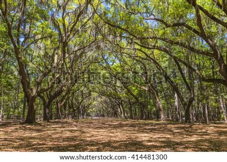 Canopy of old live oak trees draped in spanish moss at historic Wormsloe Plantation in Savannah, Georgia, USA - stock photo