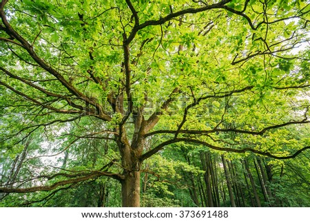 Canopy Of Tall Oak Tree. Deciduous Forest, Summer Spring Nature. Upper Branches Of Tree - stock photo