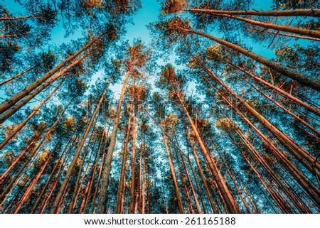 Canopy Of Tall Pine Trees. Upper Branches Of Trees In Coniferous Forest. Low Angle View. - stock photo