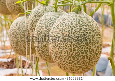 Cantaloupe, green melons growing in greenhouse farm and supported by string net. - stock photo