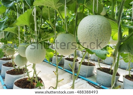 Cantaloupe melon growing in greenhouse