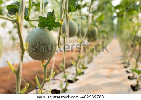 Cantaloupe melons growing in a greenhouse - stock photo