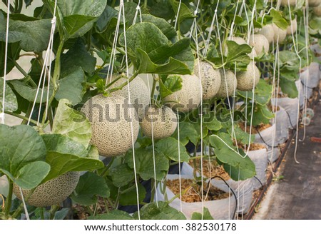 Cantaloupe melons growing in a greenhouse supported by string melon nets. selective focus - stock photo
