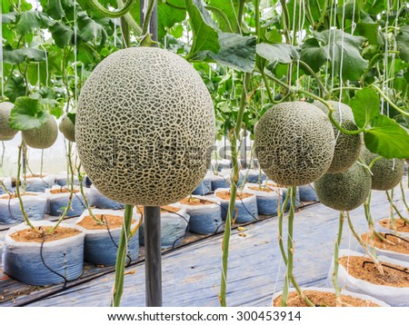 Cantaloupe melons growing in a greenhouse supported by string melon nets stock photo - stock photo