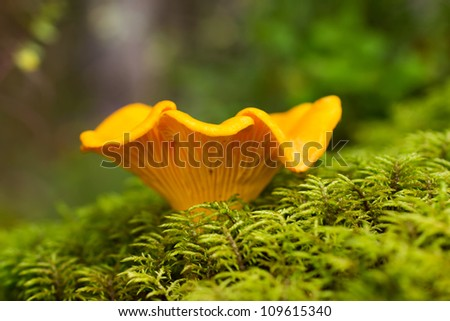 Cantharellus cibarius edible mushroom close up shoot. - stock photo