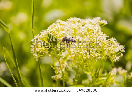 Cantharis Fusca (Soldier beetle) on Flowers  - stock photo