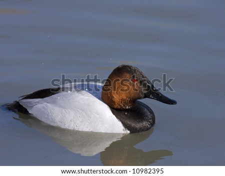 Canvasback duck - stock photo