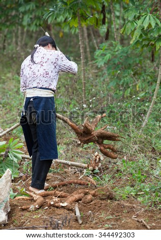 Cao Bang, Vietnam - Nov 24, 2015: Asian female farmer harvesting cassava on the field. Cassava is the food for poor people and farm animals in some country rural area in Vietnam.