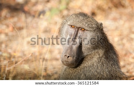 Cape baboon in an open field in Kruger National Park, South Africa