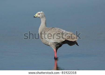 Cape Barren Goose (Cereopsis novaehollandiae) on Kangaroo Island, Australia - stock photo