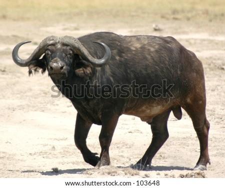 Cape buffalo 1,04 - stock photo