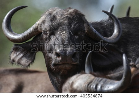 Cape buffalo herd moving through the bush, Kruger National Park, South Africa - stock photo