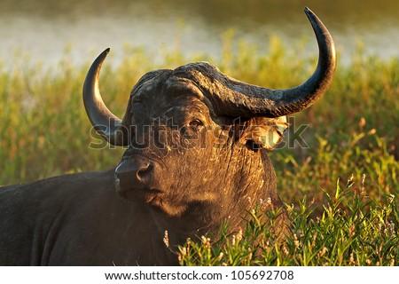 Cape Buffalo lying in green reeds. - stock photo