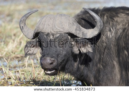 Cape Buffalo on the banks of the Chobe River at Kasane, Botswana