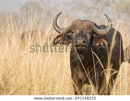 Cape buffalo (Syncerus caffer) feeds in golden long grass in the Bwabwata National Park, Caprivi strip, Namibia.