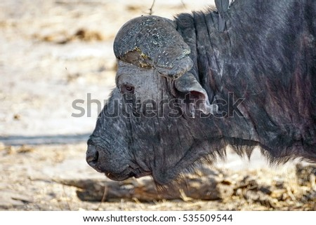 Cape buffalo with ragged ears and a bald face, close up, in Chobe National Park, Botswana