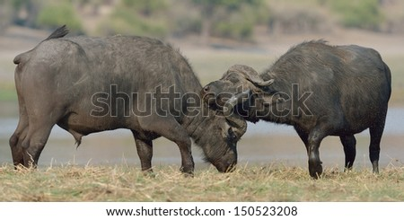 Cape Buffaloes standing on a river bank