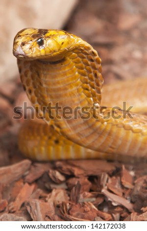 Cape Cobra - stock photo