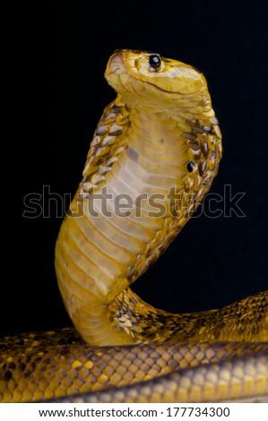 Cape cobra / Naja nivea - stock photo