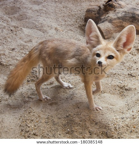 Cape fox (Vulpes chama) also called the cama fox or the silver-backed fox on the desert - stock photo
