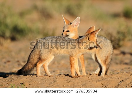 Cape foxes (Vulpes chama) at their den, Kalahari desert, South Africa - stock photo