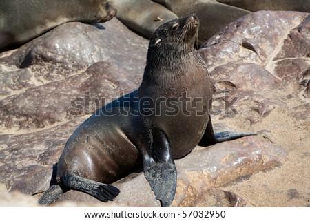 Cape fur seal - stock photo