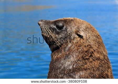 cape fur seal cape town hout bay cape south africa