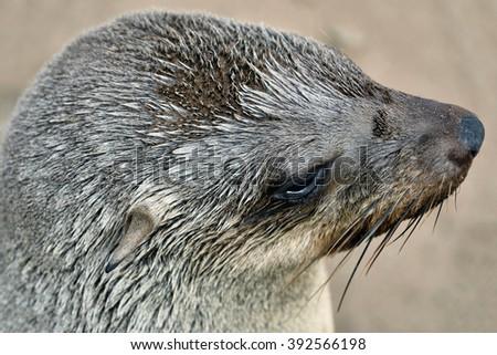 Cape fur seal portrait. The coast of Atlantic ocean. Seal colony on the Cape Cross, Skeleton Coast, Namibia - stock photo