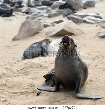 Cape fur seal roars on the stone coast of Atlantic ocean. Seal colony on the Cape Cross, Skeleton Coast, Namibia - stock photo