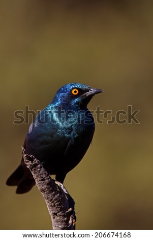 Cape Glossy Starling; Lamprotornis nitens  - stock photo