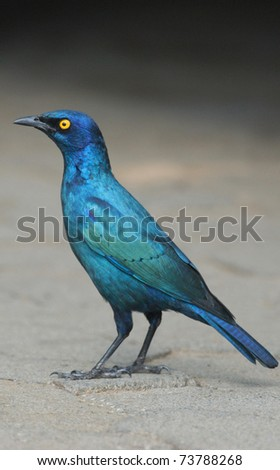 Cape Glossy Starling (Lamprotornis nitens) in Kruger National Park, South Africa - stock photo