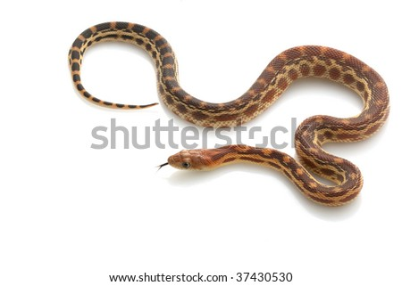 Cape Gopher Snake (Pituophis catenifer vertibralis) isolated on white background.