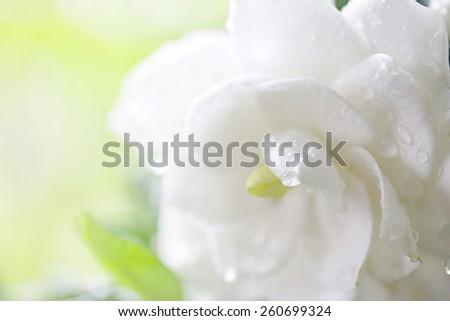 Cape jasmine - stock photo