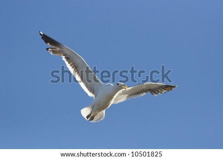 Cape Kelp Gull in flight against a clear blue sky - stock photo