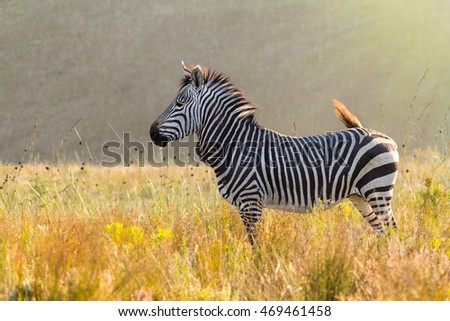 Cape Mountain Zebra in sunny grasslend habitat side view