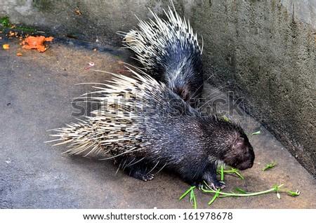 Cape porcupine (Hystrix brachyura) - stock photo