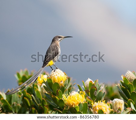 Cape Sugarbird on a yellow protea bush with blue sky background - stock photo