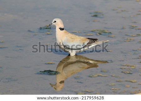 Cape Turtle Dove - African Wild Bird Background - Balance of Grey and Blue - stock photo
