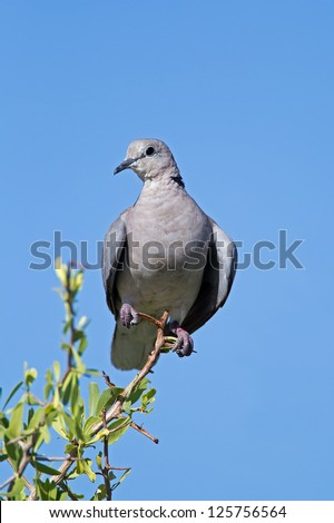 Cape Turtle-dove perched on twig; Streptopelia capicola - stock photo