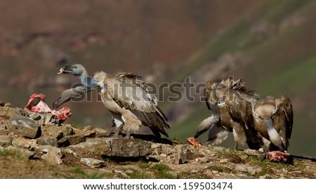 cape vulture  - stock photo