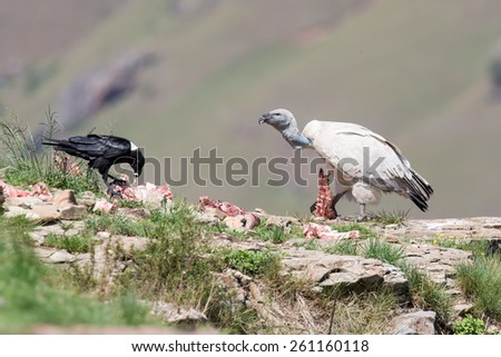 Cape Vulture and white necked raven sitting on a mountain  - stock photo