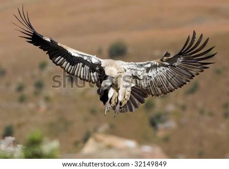 cape vulture landing - stock photo