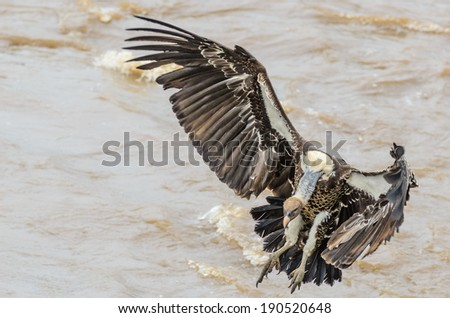 Cape Vulture landing in Mara Triangle Kenya - stock photo