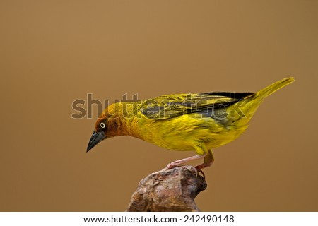 Cape Weaver perched on rock; Ploceus capensis - stock photo
